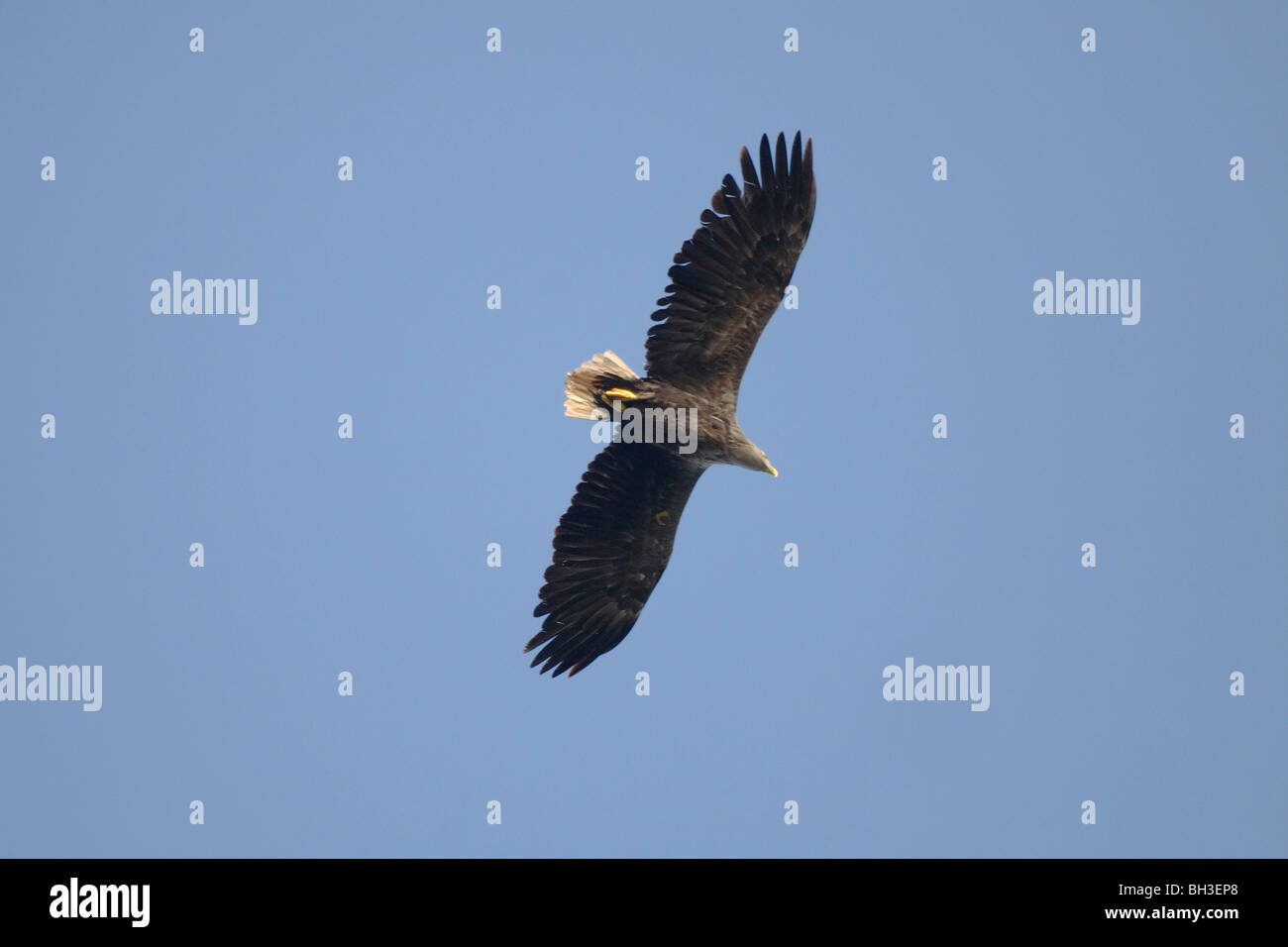 Sea Eagle overhead. Once exticnt in Scotland this species has been successfully re-introduced. Outer Hebrides, Scotland - Stock Image