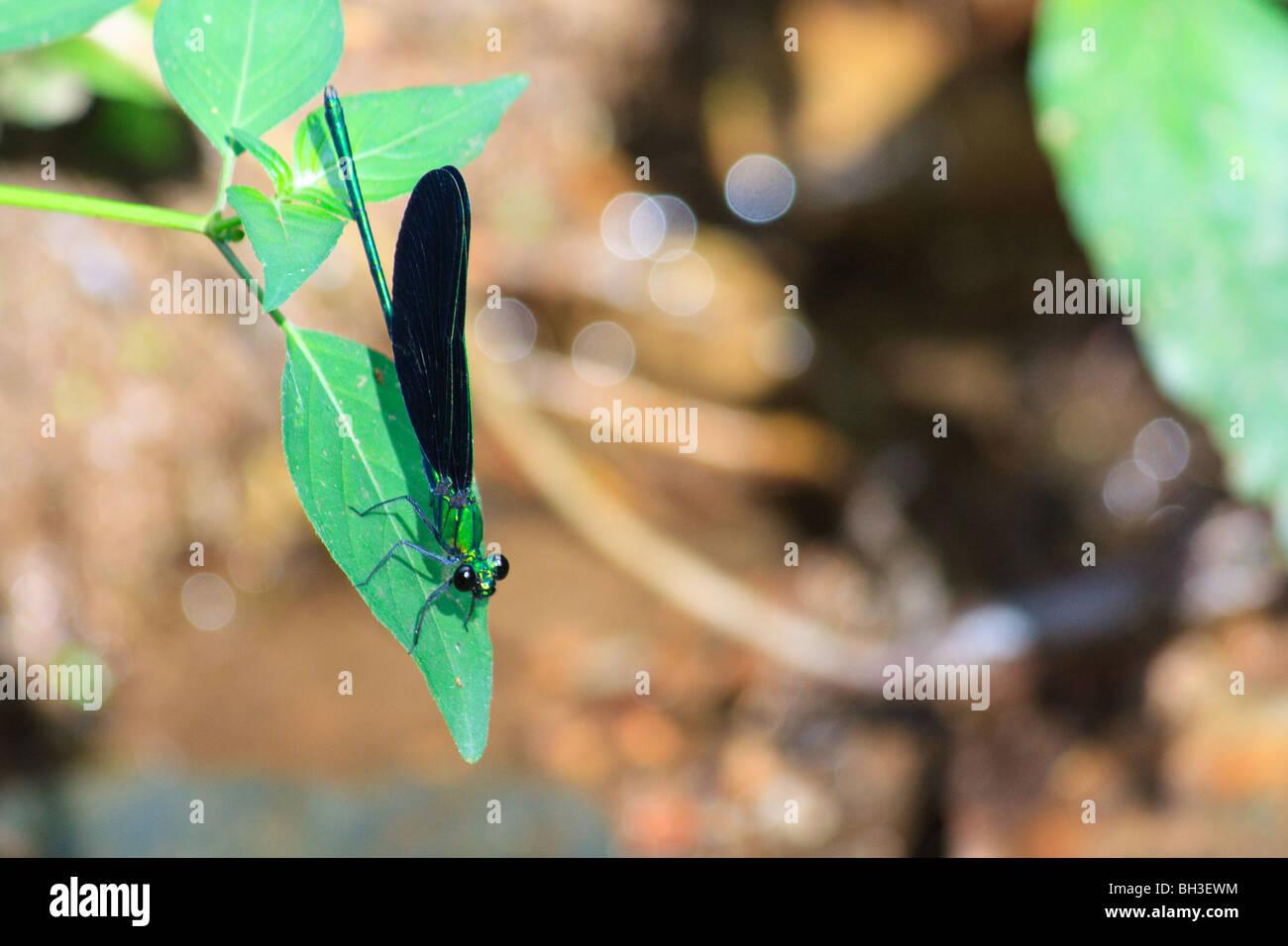 Africa Dragonflies Insect Kouma Konda Togo - Stock Image
