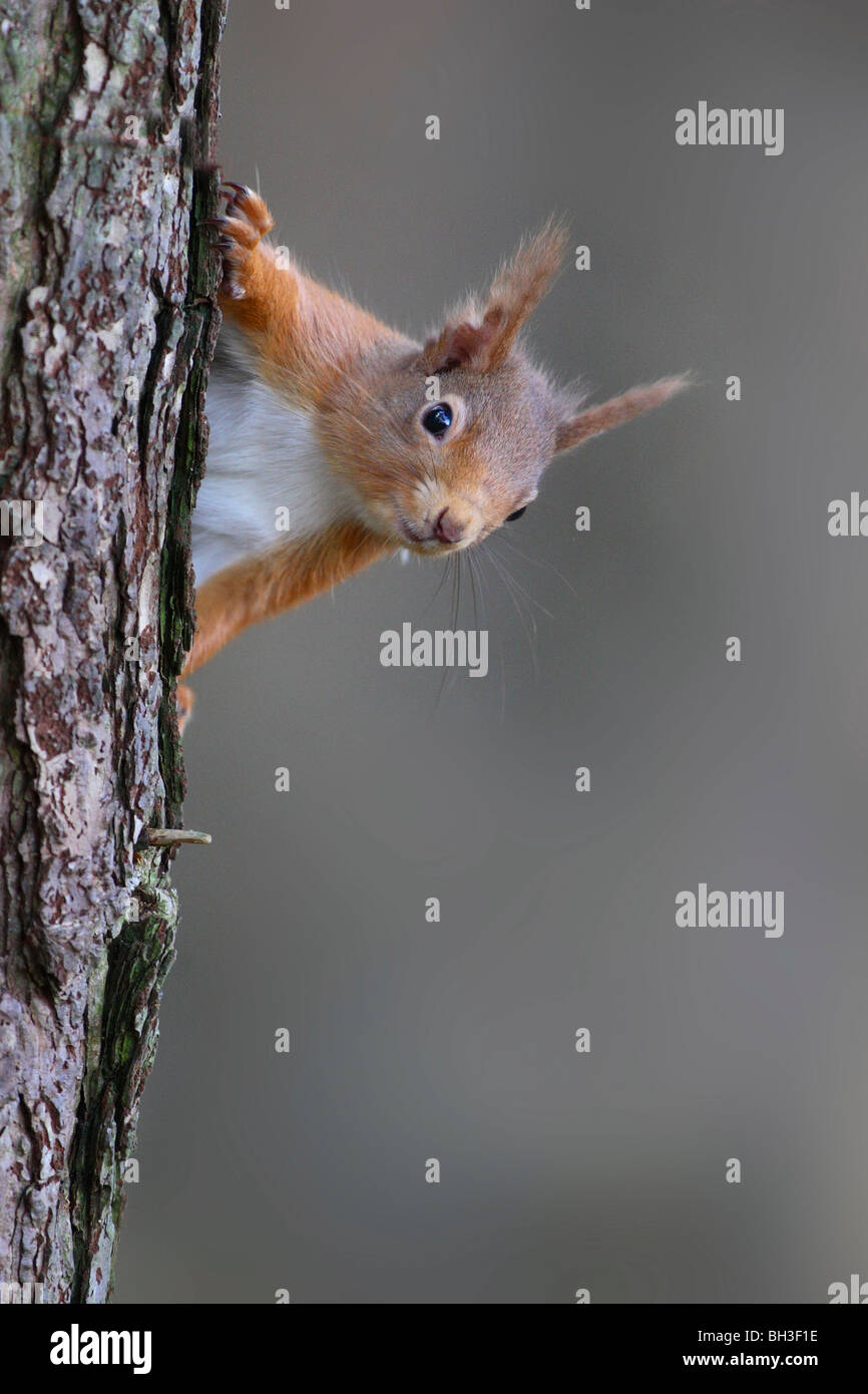 Red Squirrel, Sciurus vulgaris, in spring. Strathspey, Scotland Stock Photo