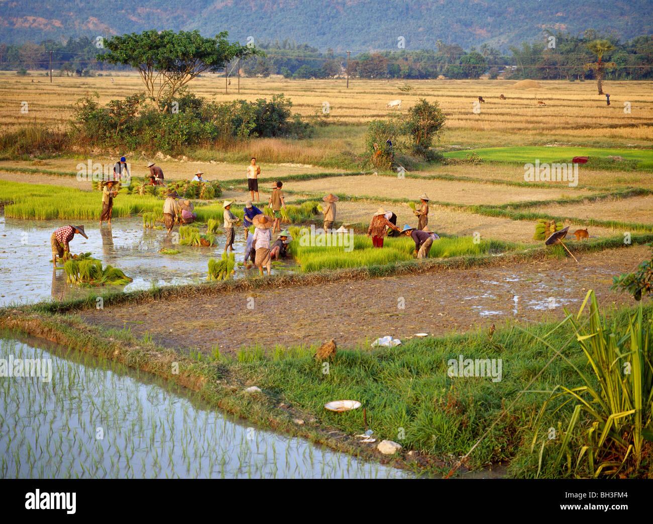 Women bringen out the seedlings on the rice paddys in the evening sun Frauen pflanzen Setzlinge in Nassreisfelder - Stock Image