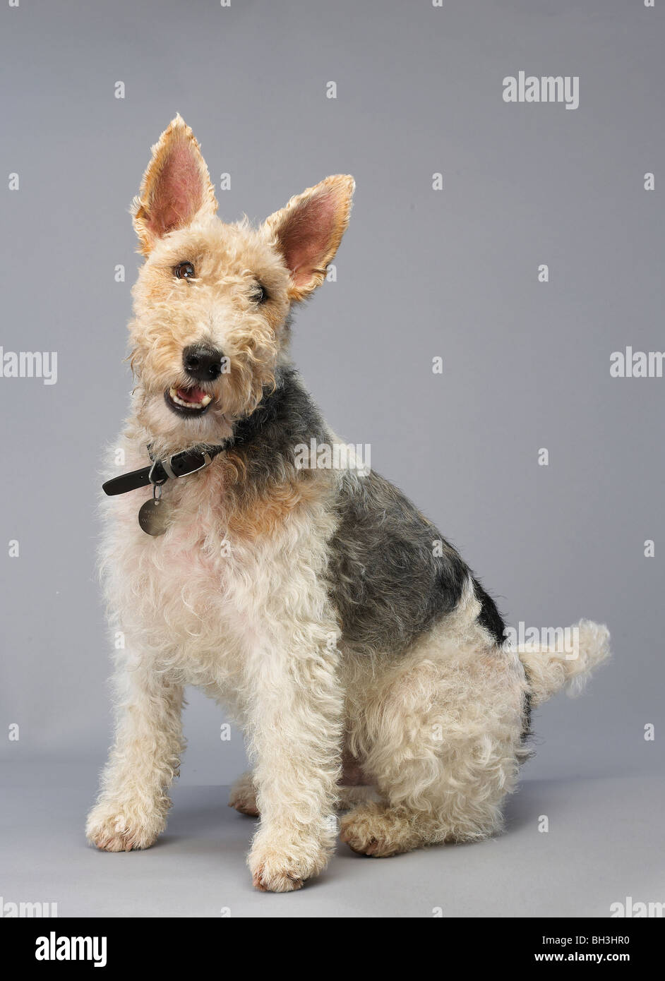 Fox Terrier Stock Photos & Fox Terrier Stock Images - Alamy