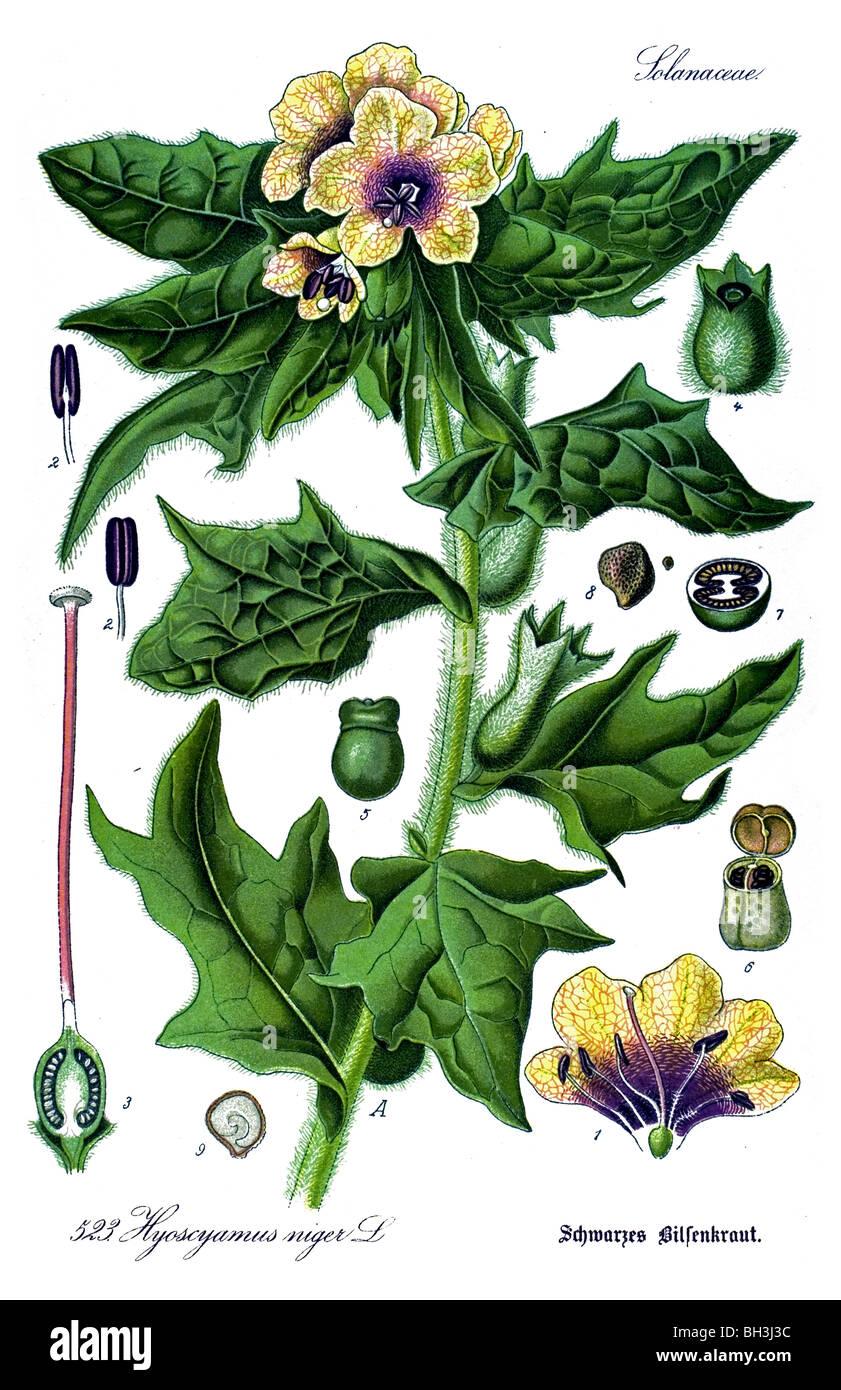Henbane, stinking nightshade, plant, plants - Stock Image