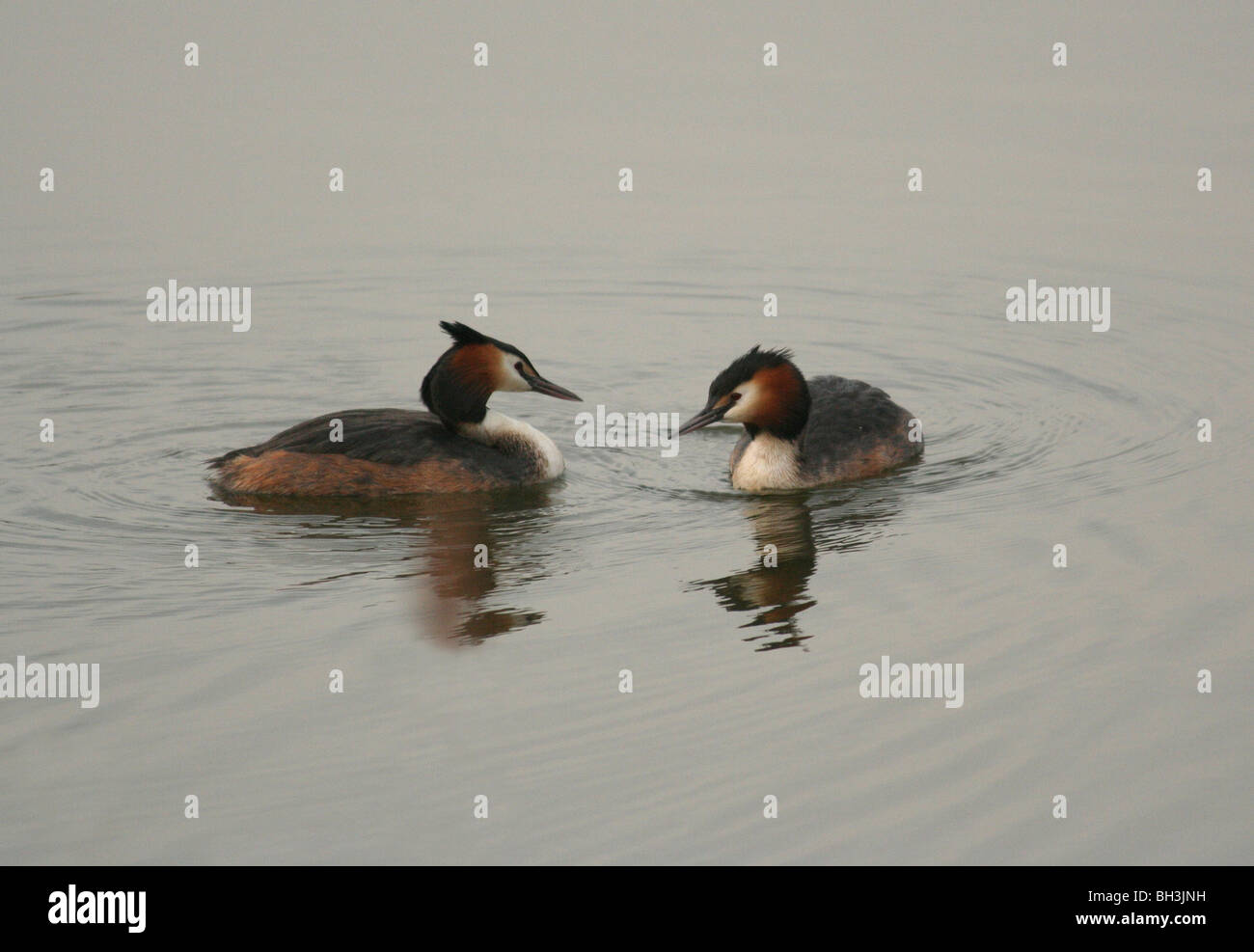A pair of great crested grebes (Podiceps cristatus) in courtship on a early morning. - Stock Image
