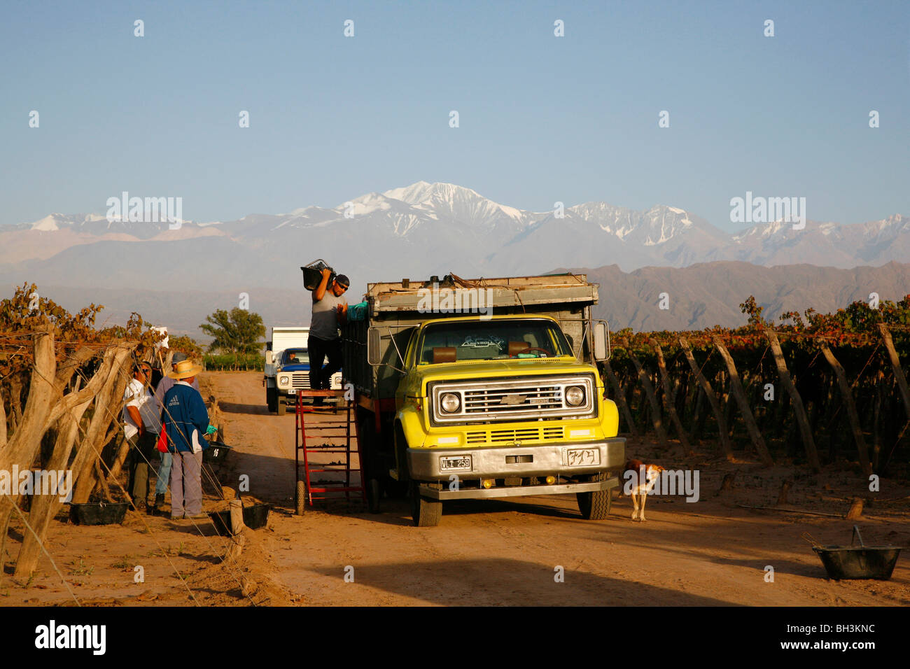 Grape harvest at a vineyard in Lujan de Cuyo with the Andes mountains in the background, Mendoza, Argentina. - Stock Image