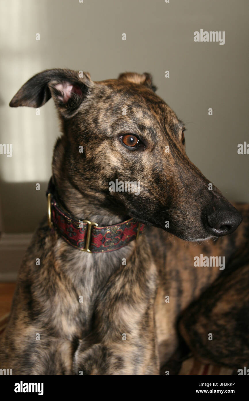 A close up of a brindle greyhound. - Stock Image