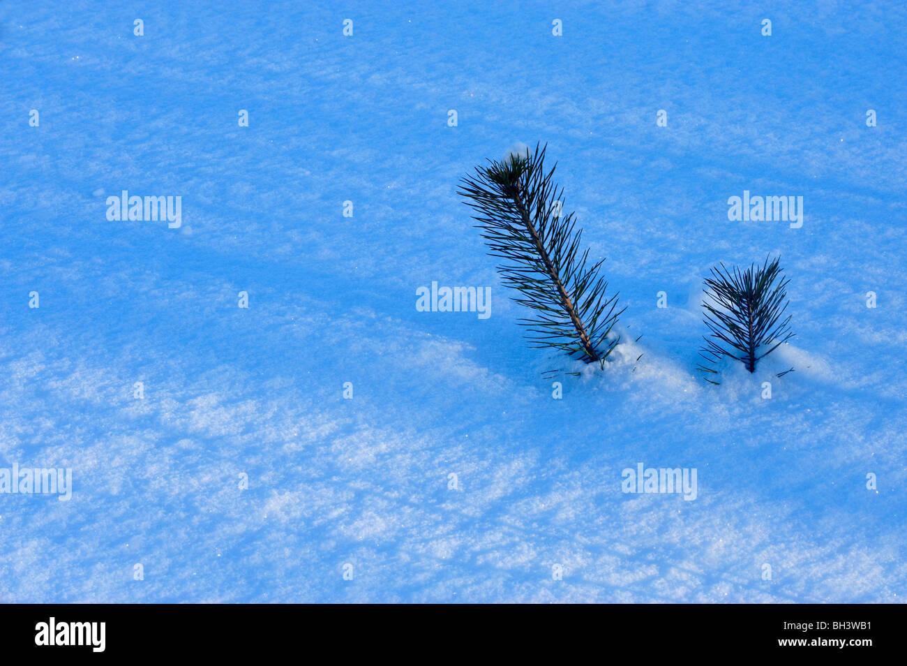 White spruce (Picea glauca) sapling protruding from fresh snow, Greater Sudbury, Ontario, Canada - Stock Image