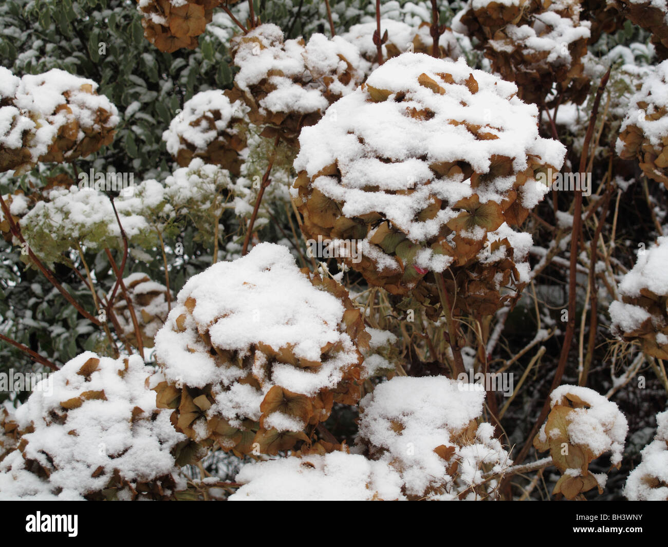 Snow cover on last years flowers on a hydrangea in mid winter - Stock Image