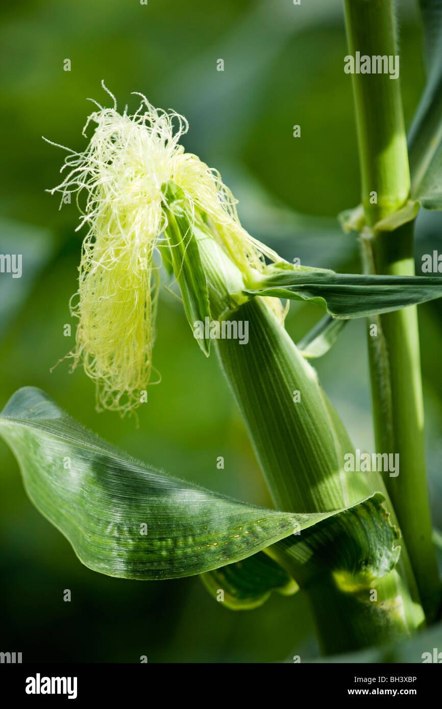 An unripe cob of corn on the stem - Stock Image