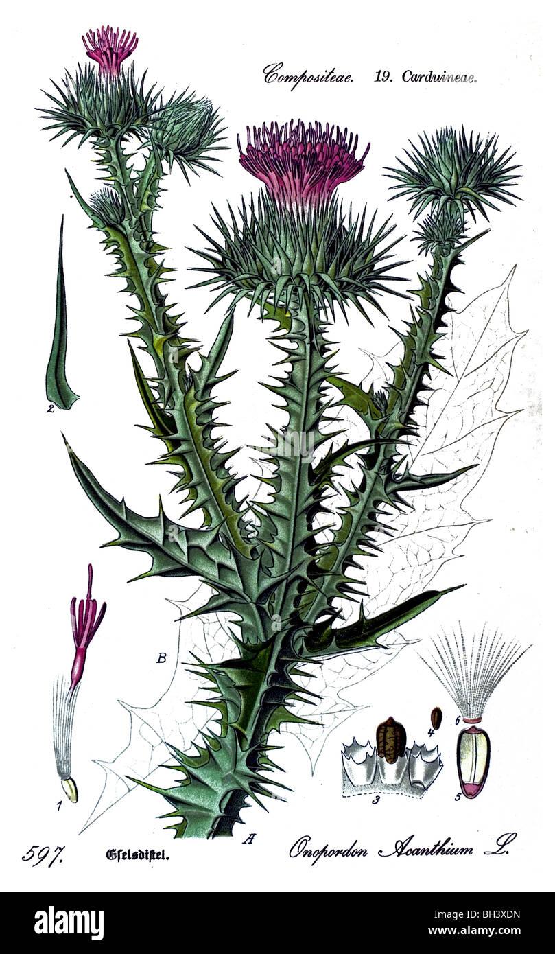 Cotton Thistle, plant, plants - Stock Image