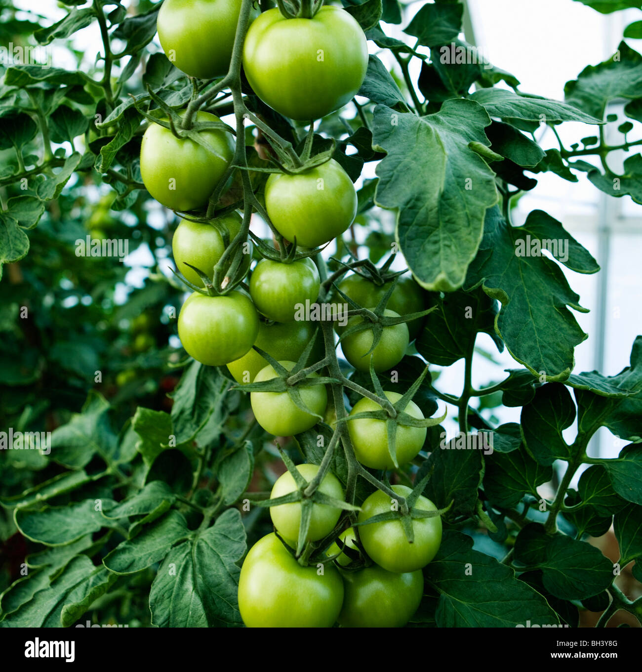 Green tomatoes growing on the stem Stock Photo