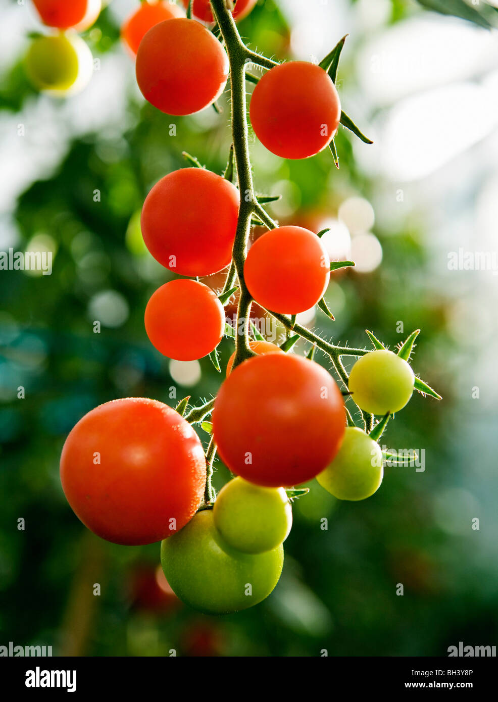 Ripening tomatoes on the stem - Stock Image