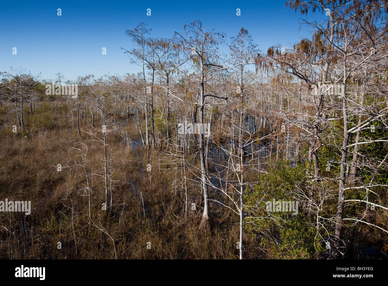 Bald Cypress Trees - Everglades National Park - Stock Image