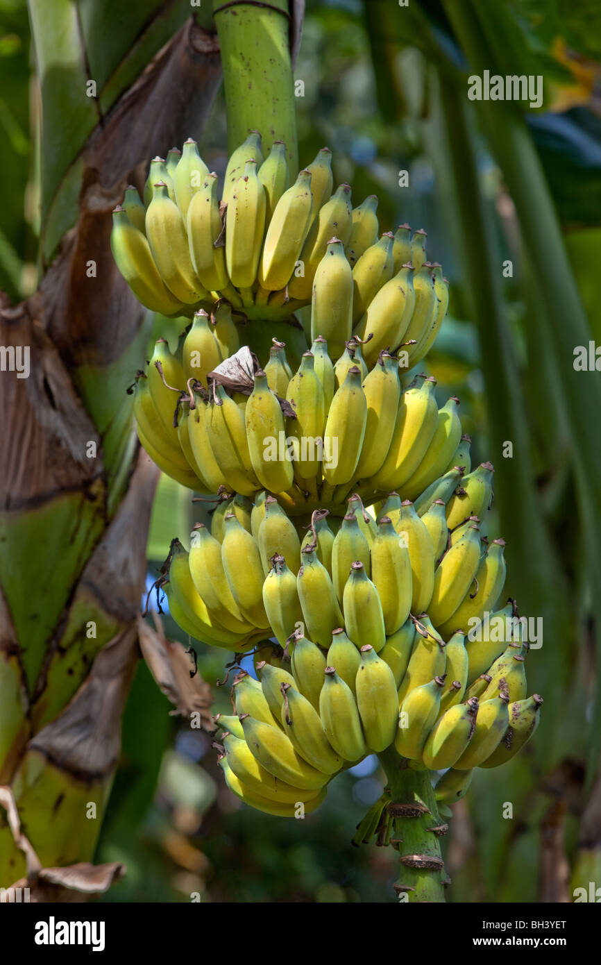 Banana is the common name for herbaceous plants of the genus Musa and for the fruit they produce. - Stock Image