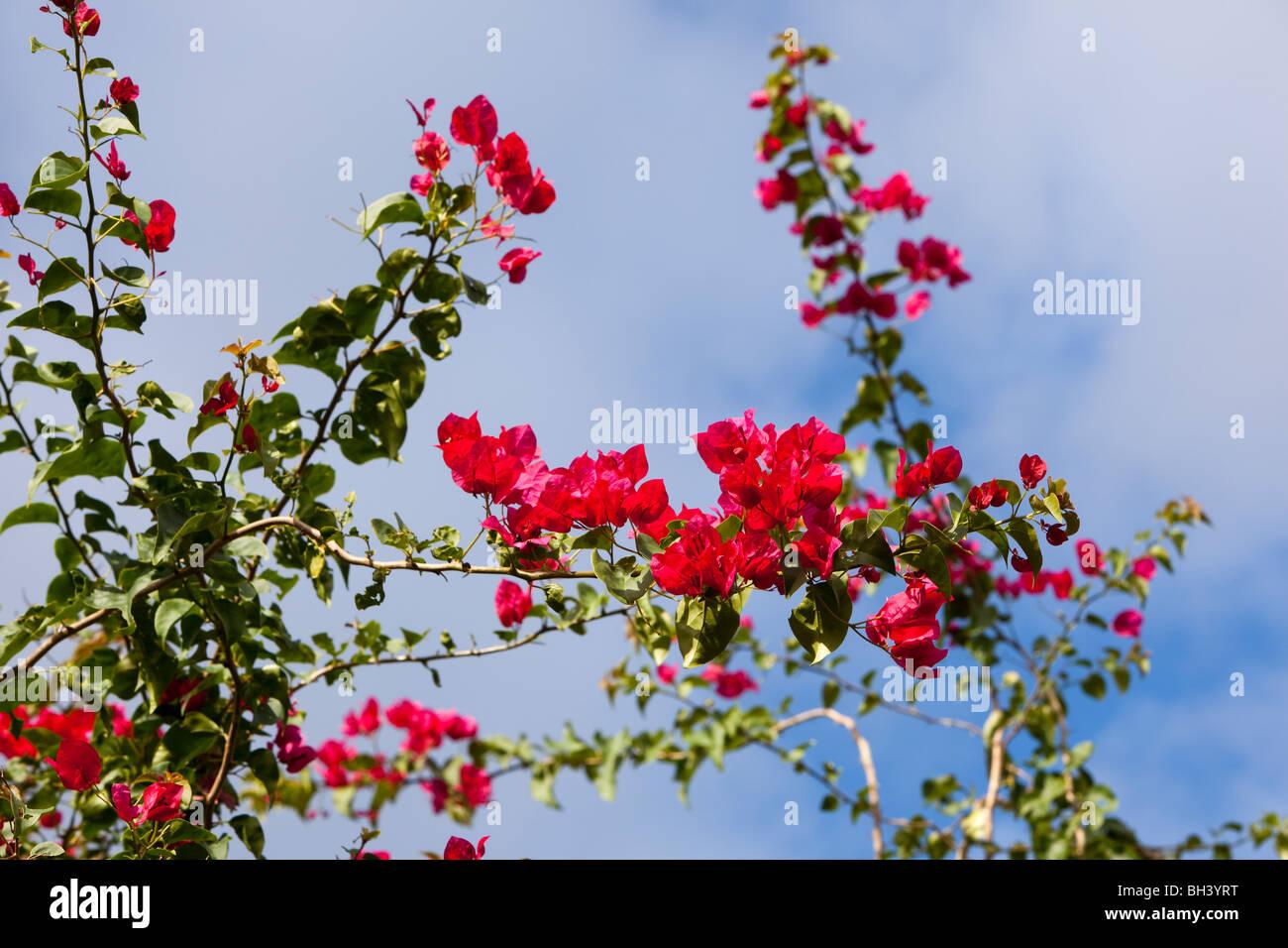 Bougainvilleas are popular ornamental plants. - Stock Image