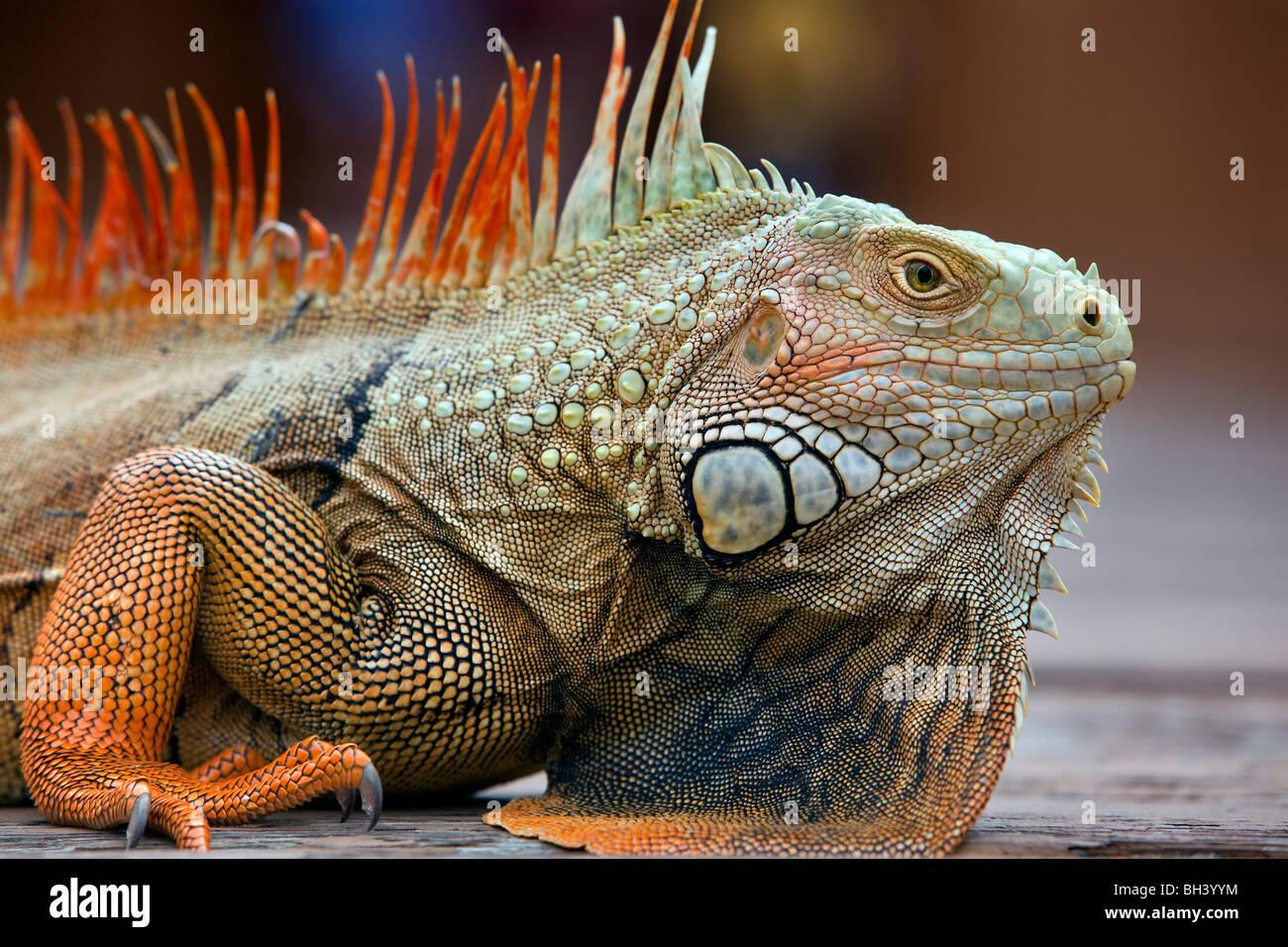 Iguana Portrait, Florida - Stock Image