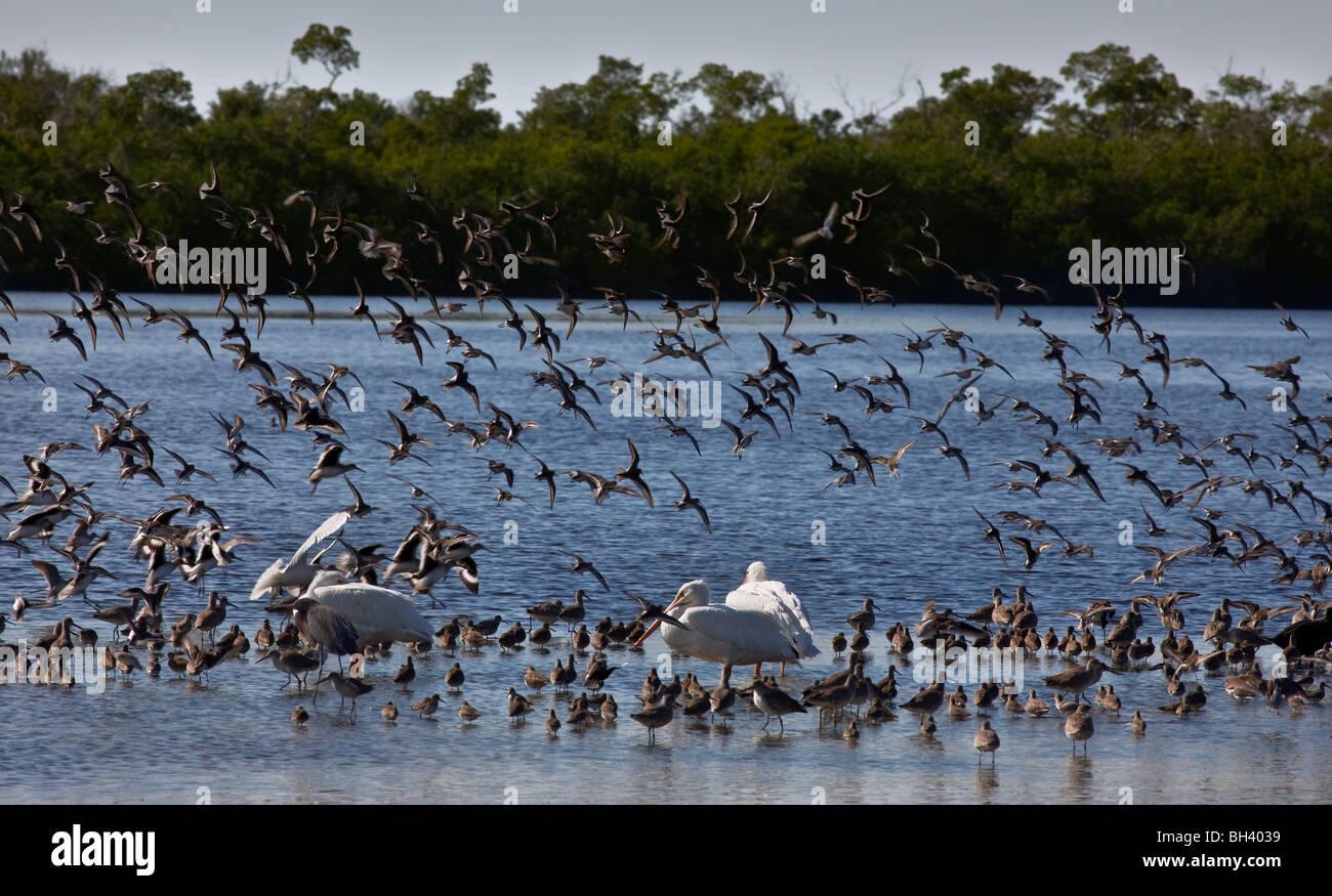 Wintering Water Birds, J. N. 'Ding' Darling National Wildlife Refuge, Florida - Stock Image