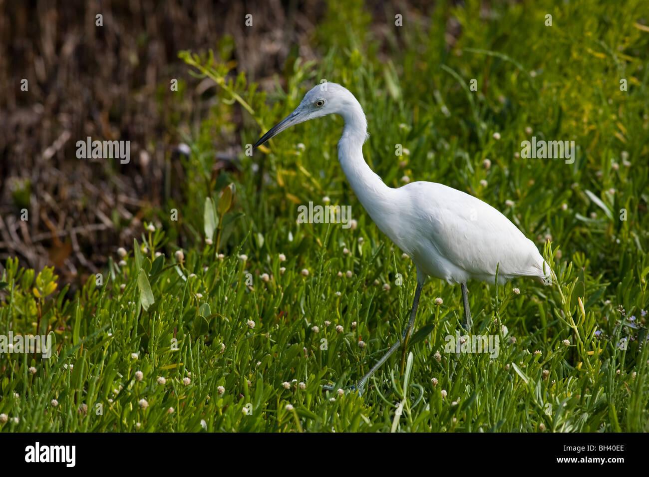 Cattle Egret Bubulcus ibis water bird J. N. Ding Darling National Wildlife Refuge Florida - Stock Image