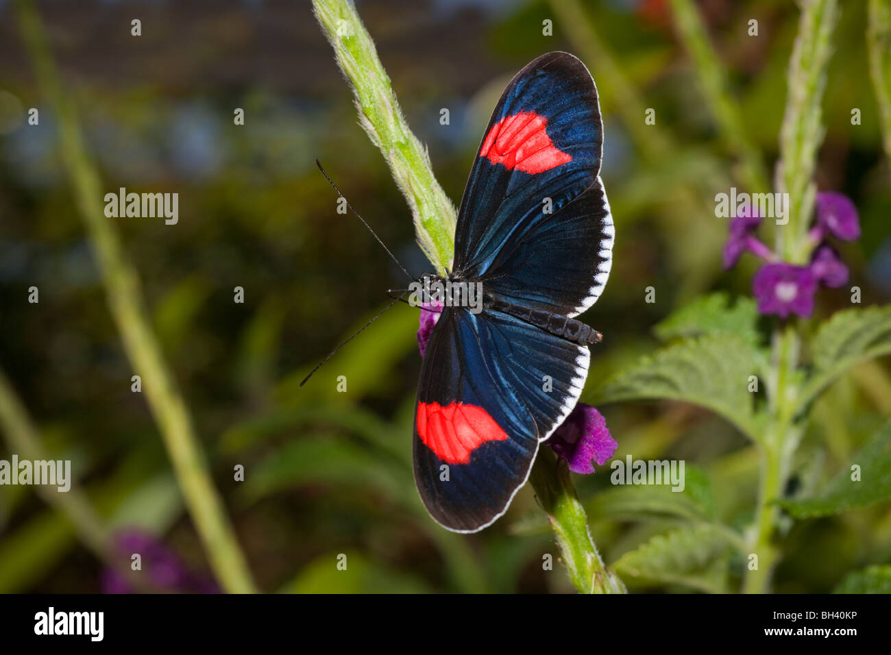 Brush-Footed Butterfly Heliconius Erato Cyrbia - Stock Image