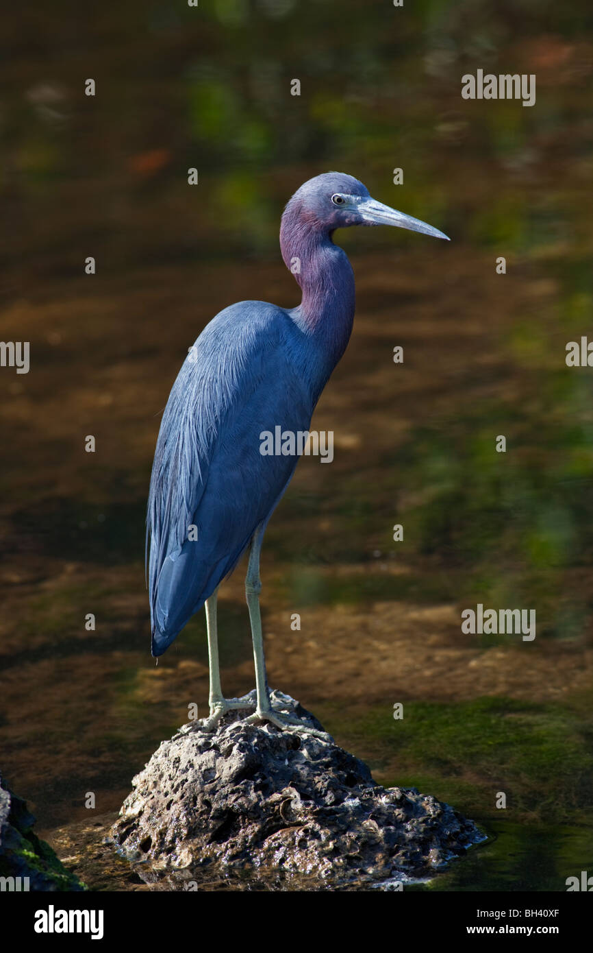 Little Blue Heron Egretta caerulea, Ding Darling National Wildlife Refuge, Florida - Stock Image