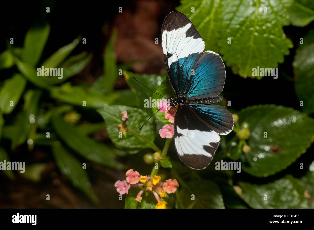Heliconius Sapho Butterfly from Costa Rica, is black and white but has an irridescent blue metalic sheen. - Stock Image