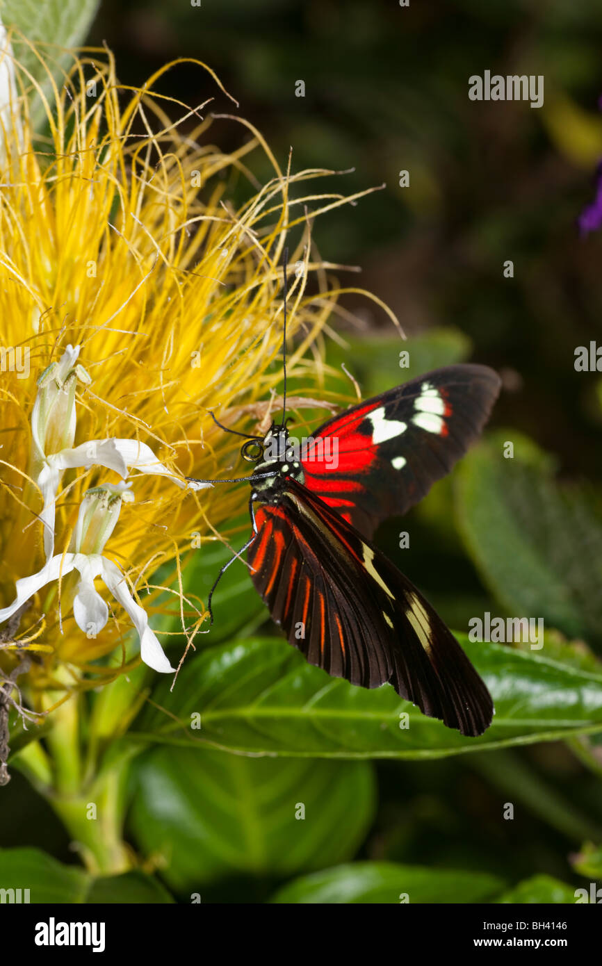 Brush-Footed Butterfly, Heliconius Erato Notabilis - Stock Image