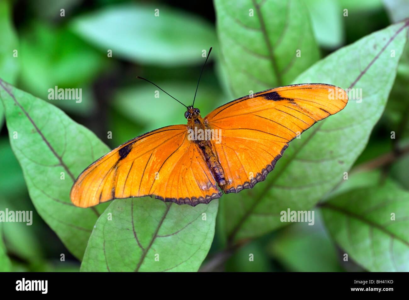Julia butterfly, Dryas iulia - Stock Image