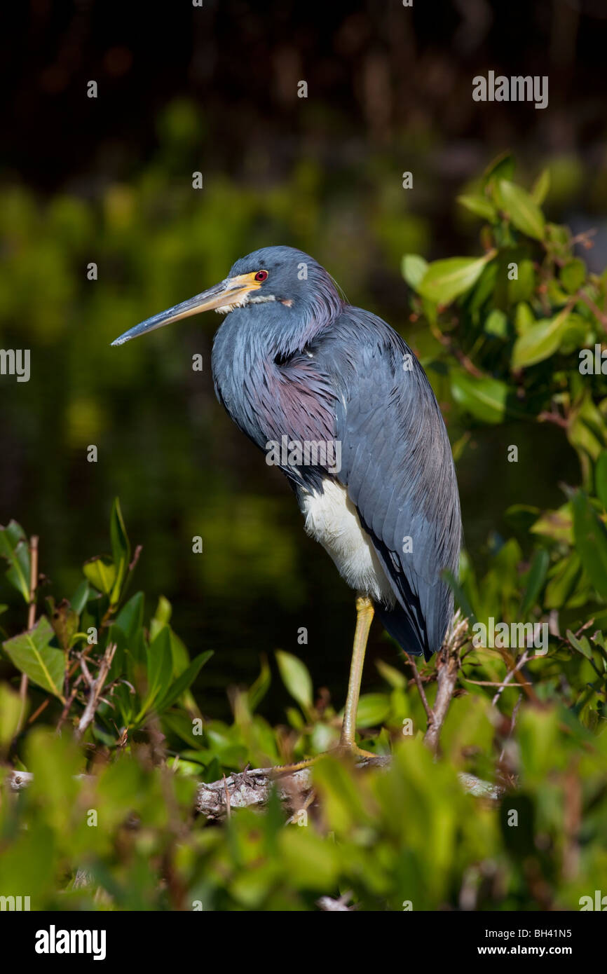 The Tricolored Heron (Egretta tricolor) formerly known in North America as the Louisiana Heron. - Stock Image