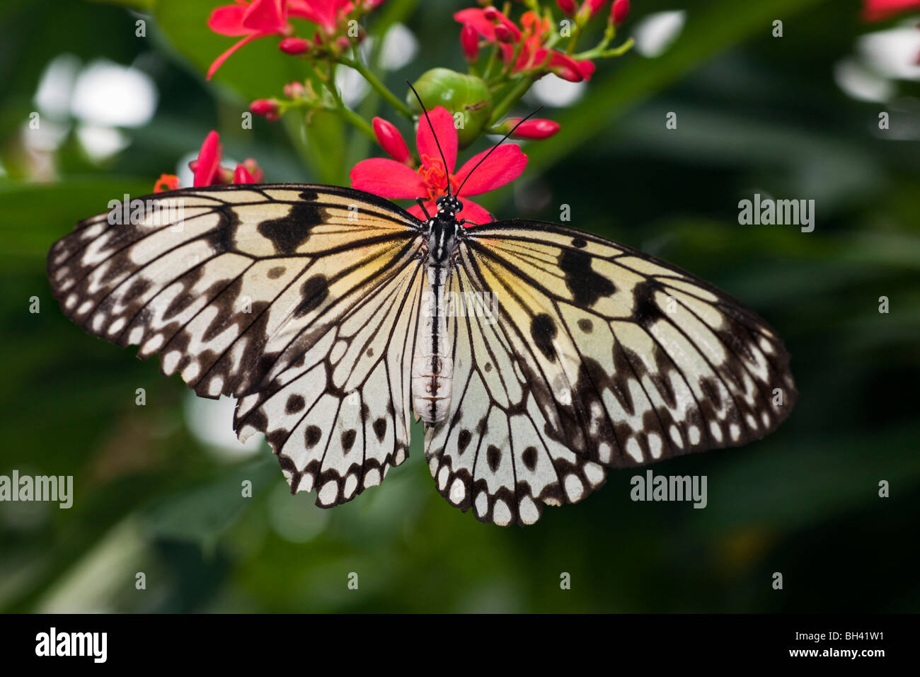 Tree Nymph (Idea leuconoe) Butterfly, Rice Paper Butterfly, Paper Kite Butterfly - Stock Image