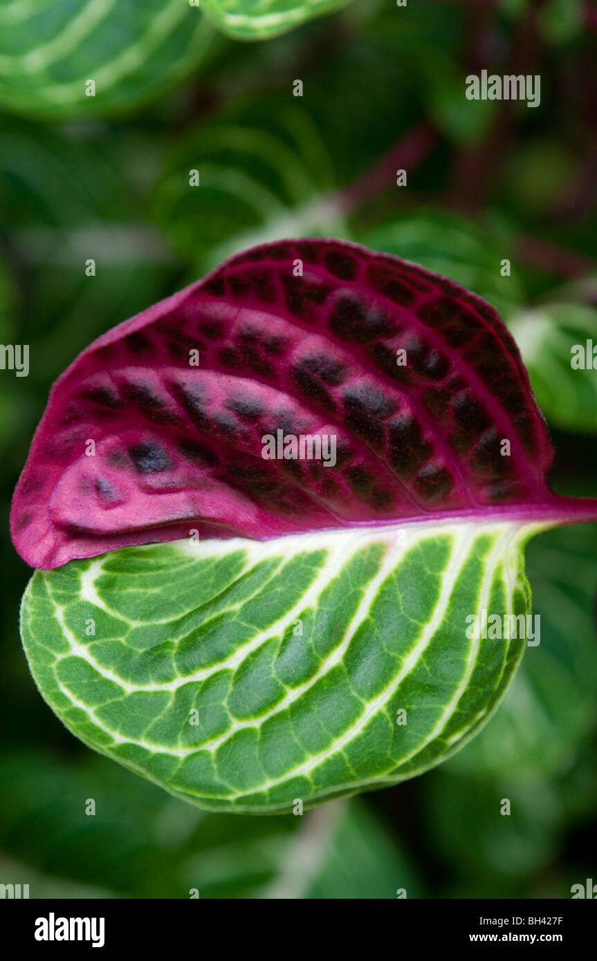 Red and green leaf - Stock Image
