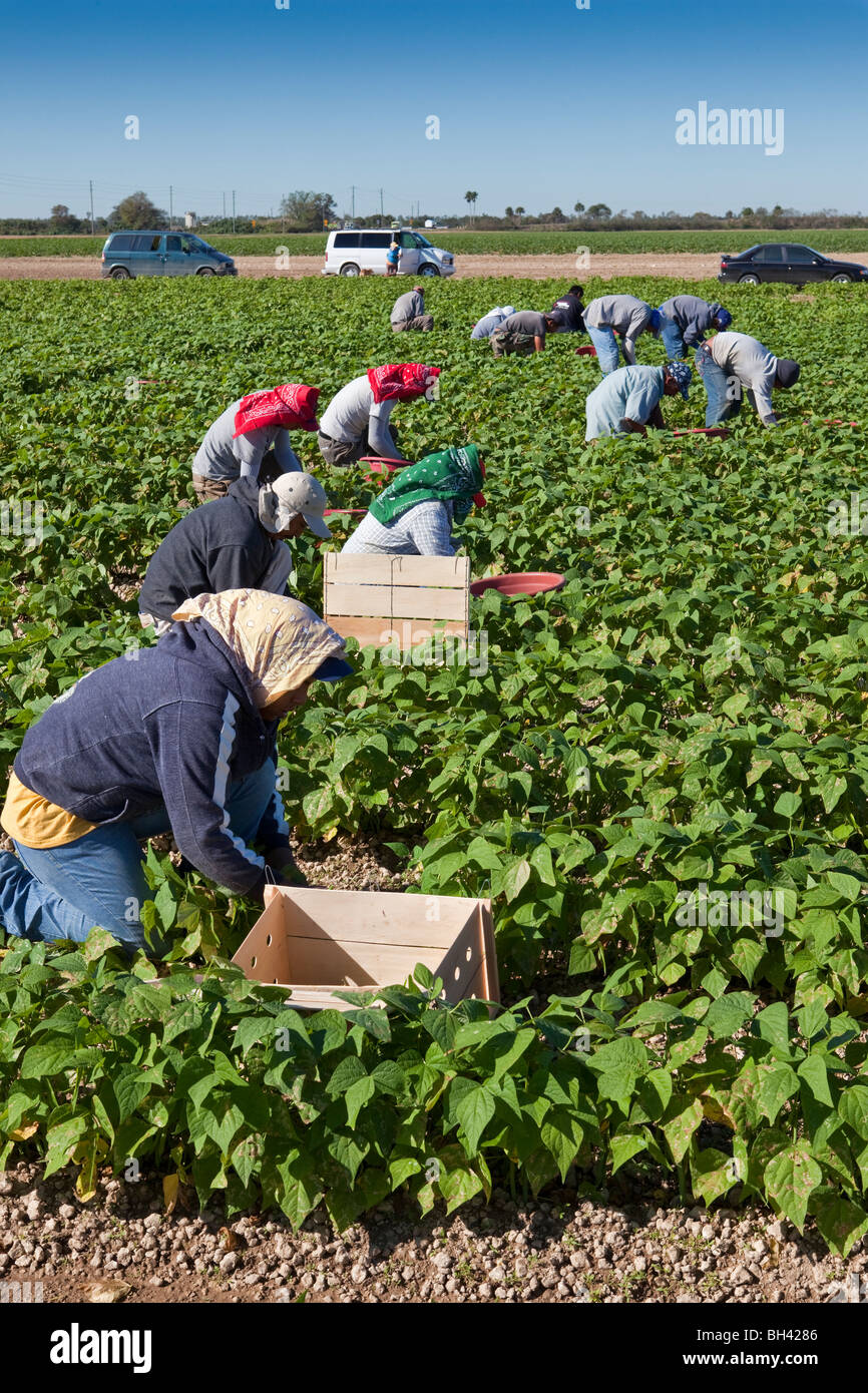 Picking Beans, Migrant Labor, Southern Florida Agriculture - Stock Image