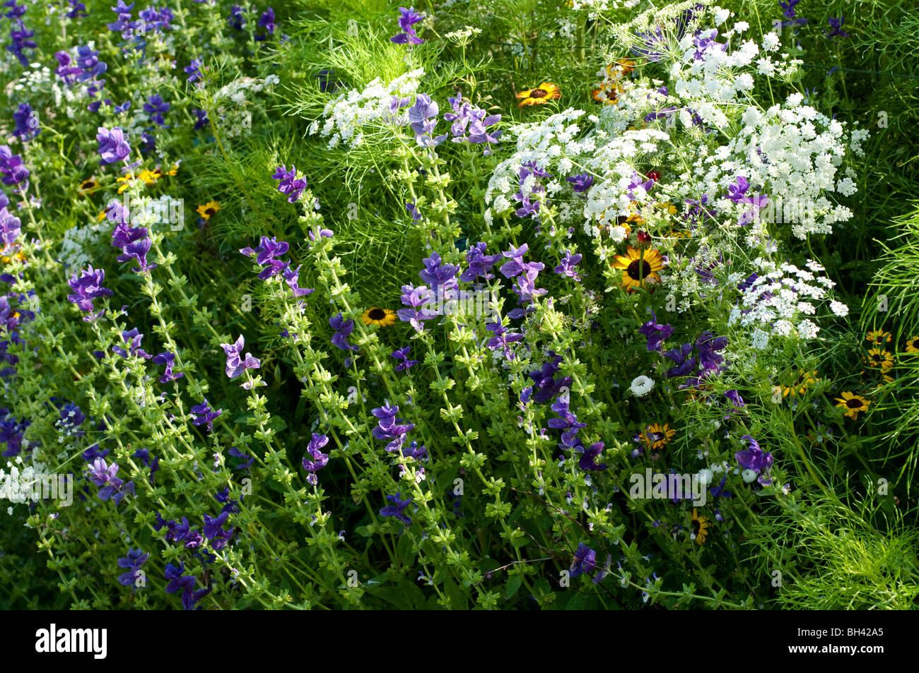 Ammi majus and Salvia viridis BLUE DENIM in flower border Stock Photo