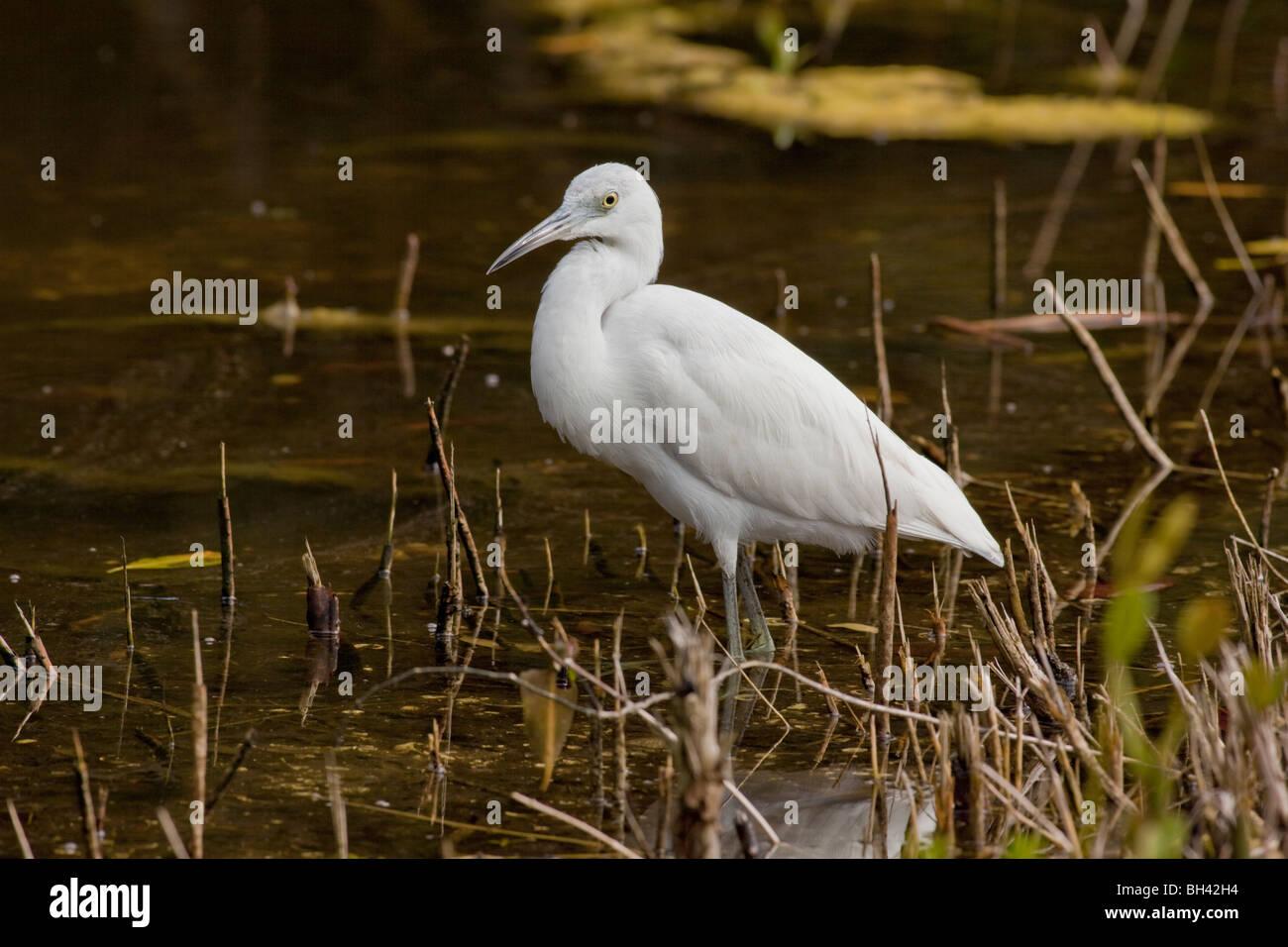 Cattle Egret (Bubulcus ibis) is a cosmopolitan species of heron (family Ardeidae) J. N. 'Ding' Darling National - Stock Image