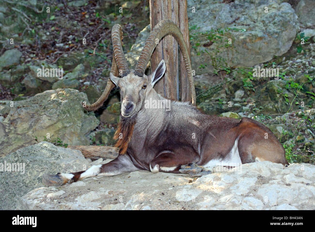 Nubian Ibex - Stock Image