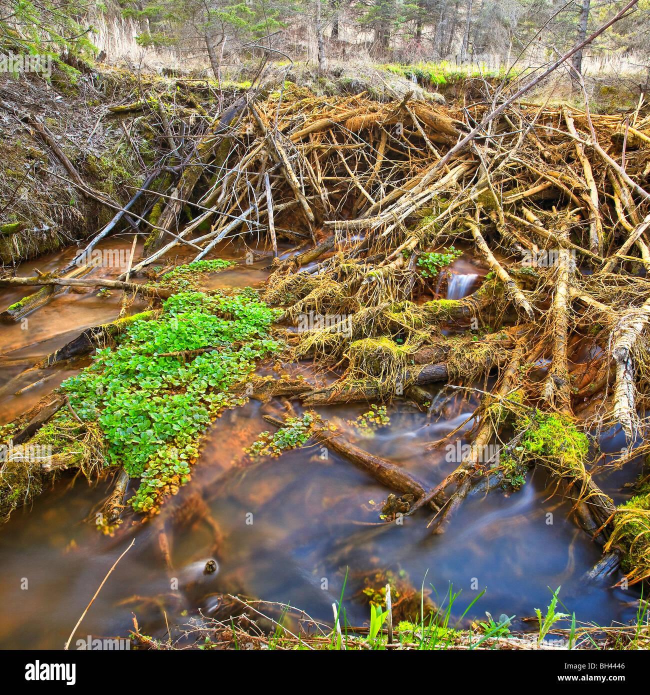 Beaver dam at the Devil's Punchbowl, Spirit Sands, Spruce Woods Provincial Park, Manitoba, Canada. - Stock Image