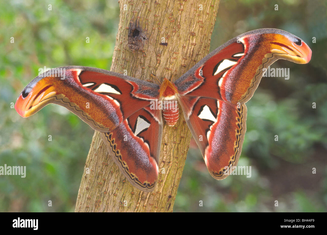 Atlas moth (Attacus atlas) female at rest with open wings on bush. - Stock Image