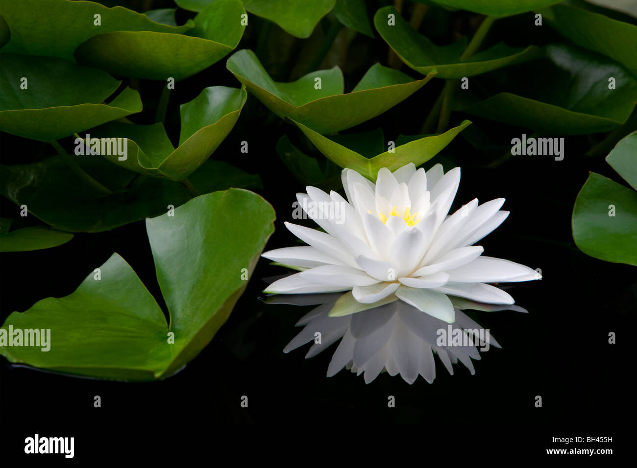 White water lily and reflection. Hughes Water Gardens. Oregon - Stock Image