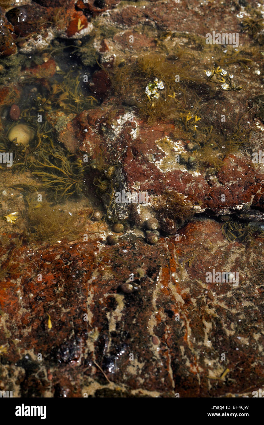 Diverse seaweeds in rock pool. - Stock Image