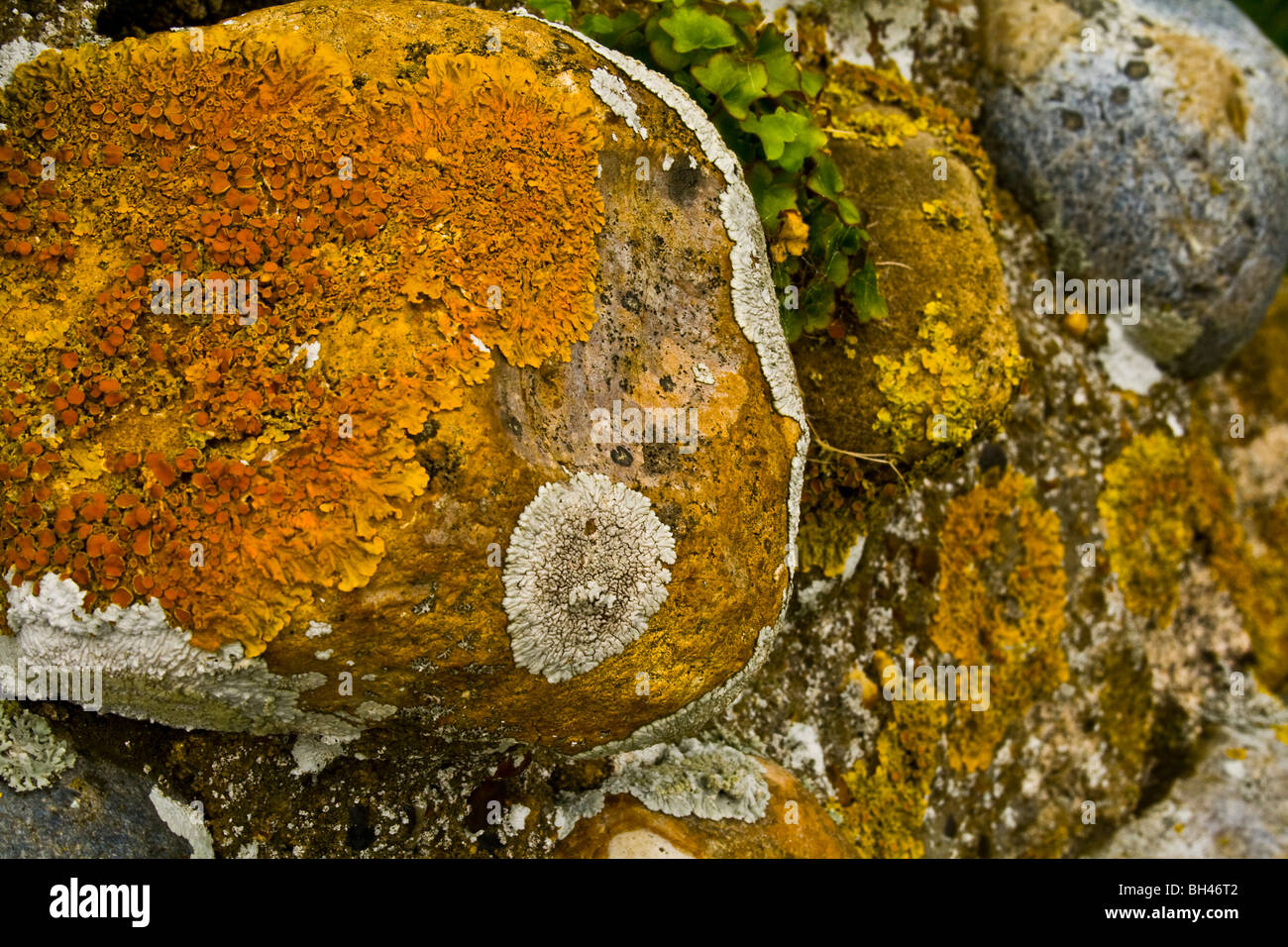 Variety of lichen (Xanthoria parietina) on the ruins of Leiston Abbey, Suffolk. - Stock Image