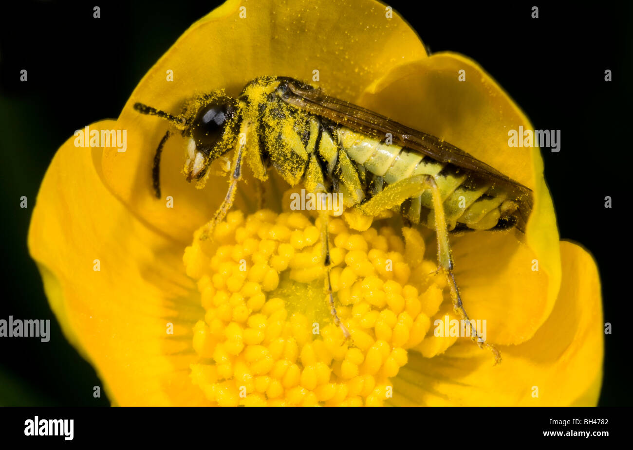 Sawfly (Rhogogaster picta). Concealed inside buttercup. - Stock Image