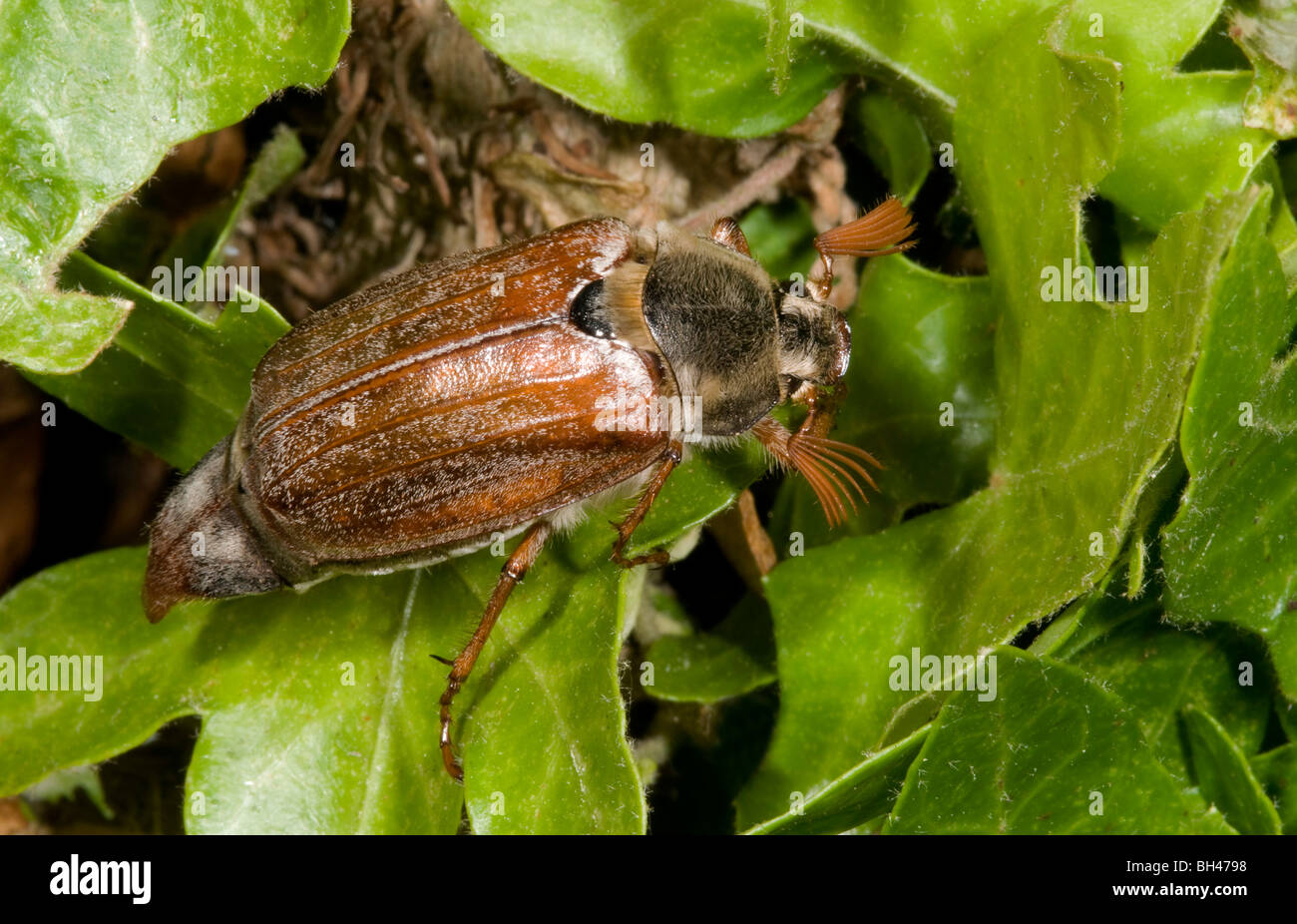 Cockchafer or may bug (Melolontha melolontha). Adult on leaves in garden. Stock Photo