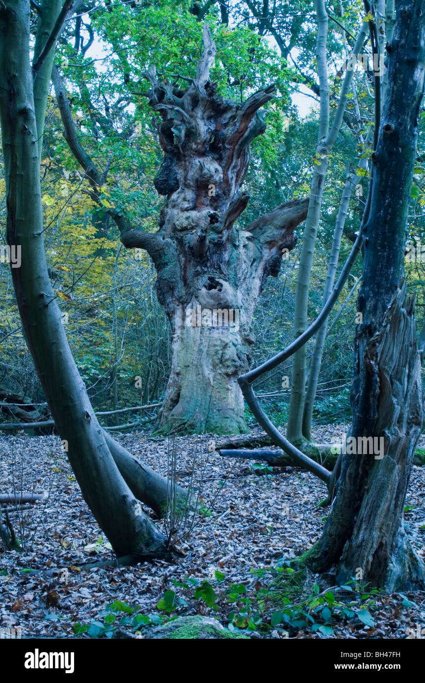 Ancient woodland framing an old tree. - Stock Image
