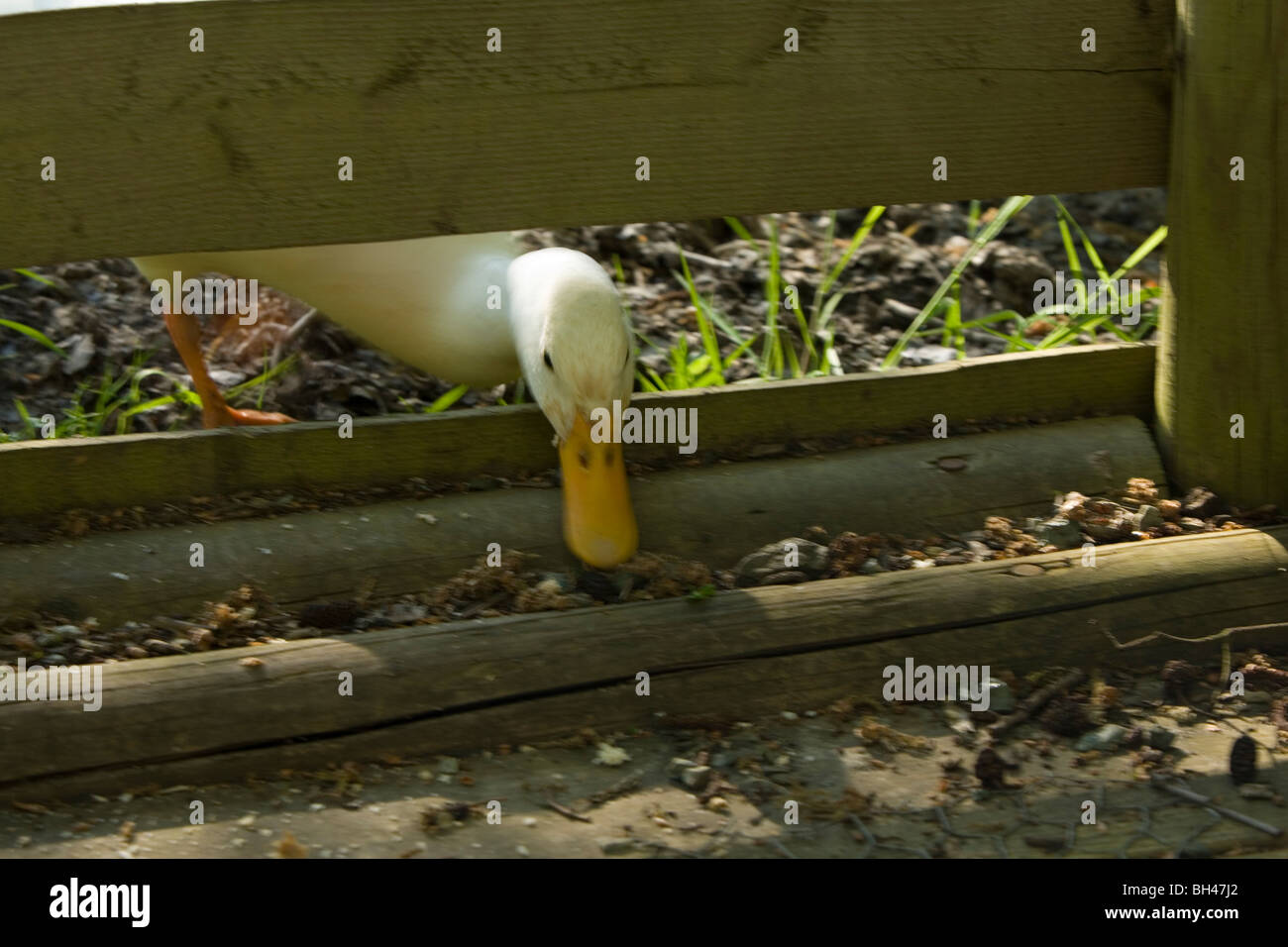 White duck looking through fence in spring. - Stock Image