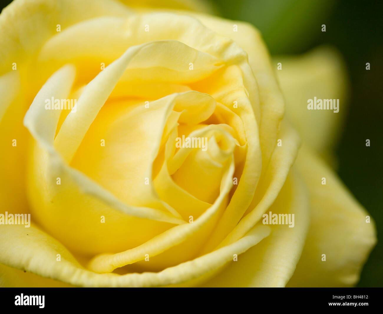 Yellow rose (rosaceae) in garden in spring. - Stock Image