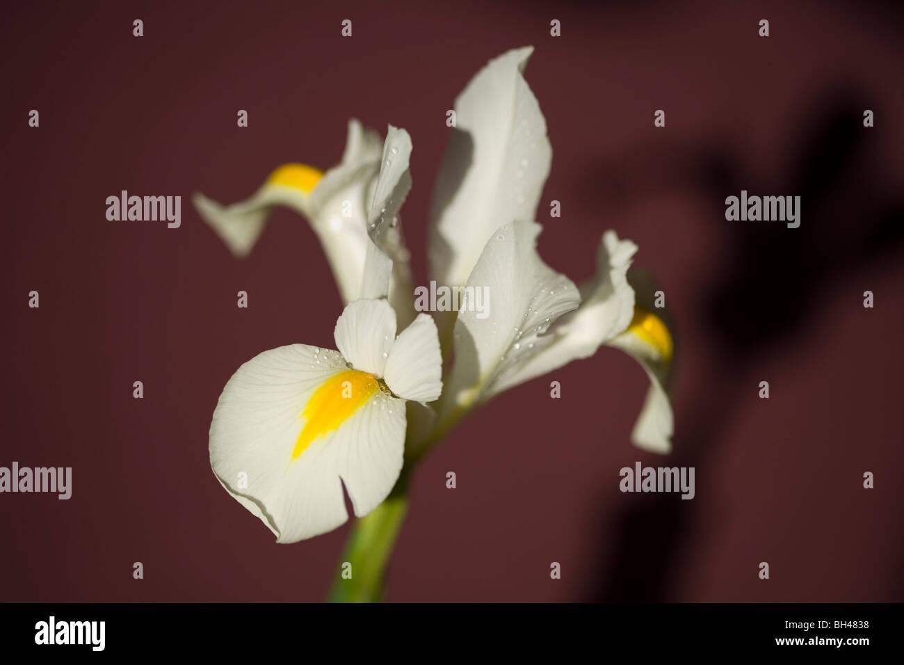Iris (iridaceae) and shadow. - Stock Image