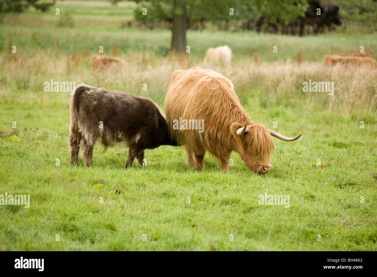 Brown Cow Stock Photos & Brown Cow Stock Images - Alamy