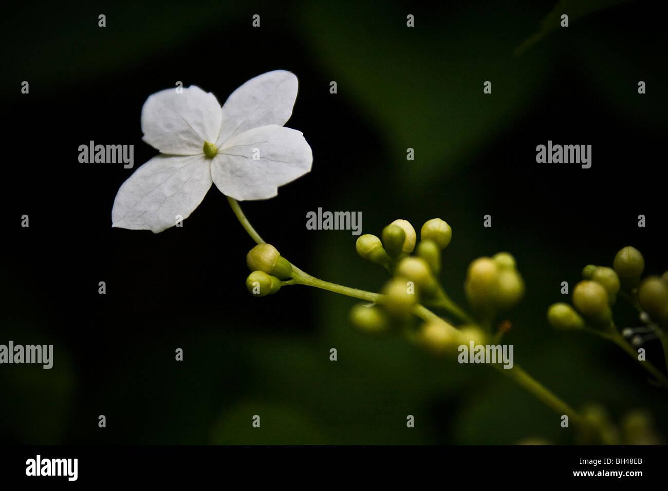 Lacecup type flowerhead of the climbing hydrangea (Hydrangea petiolaris). - Stock Image