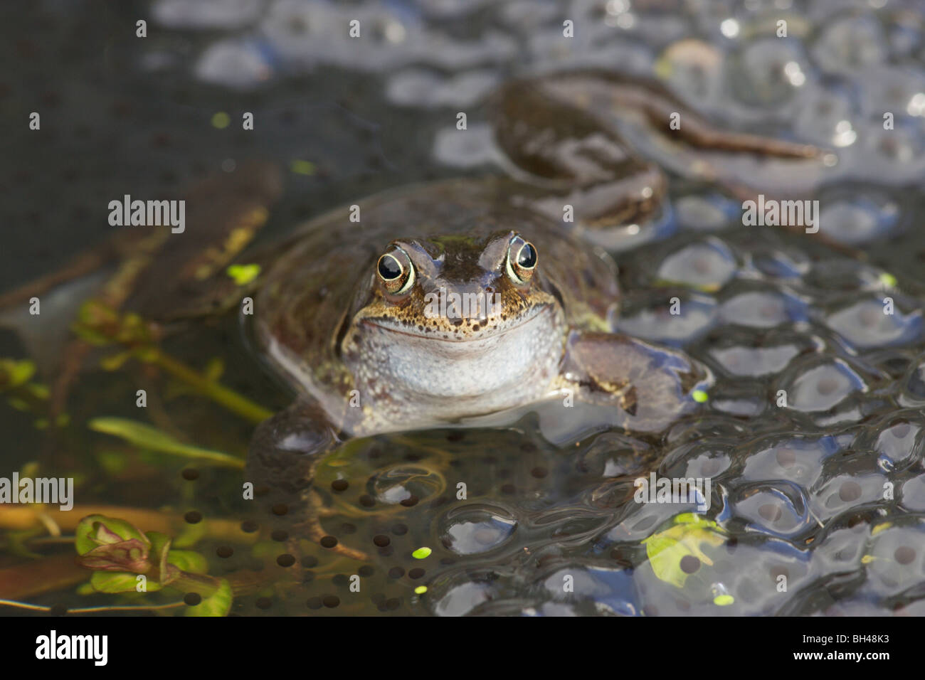 Common frog (Rana temporaria) male with frogspawn. - Stock Image