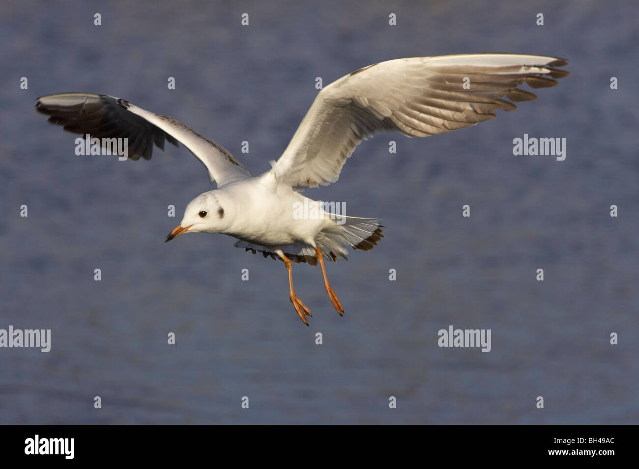 Black-headed gull (Larus ridibundus) in flight. Stock Photo