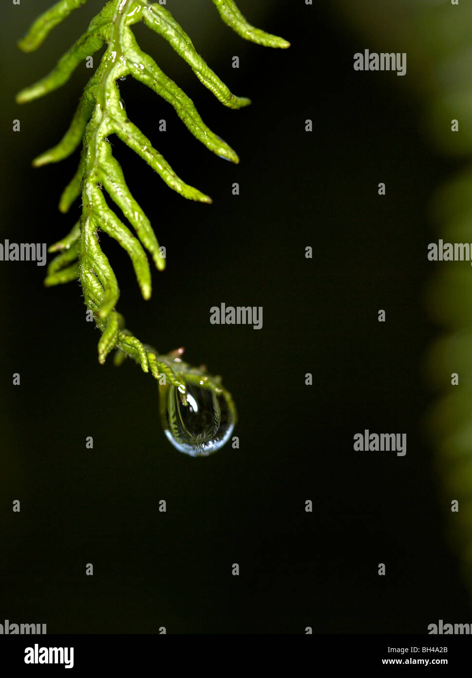 Water droplet on bracken fern (Pteridium aqualinum) . - Stock Image