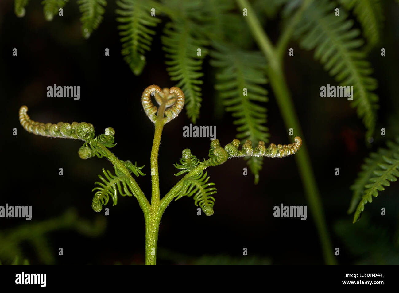 Bracken fern (Pteridium aqualinum). Stock Photo